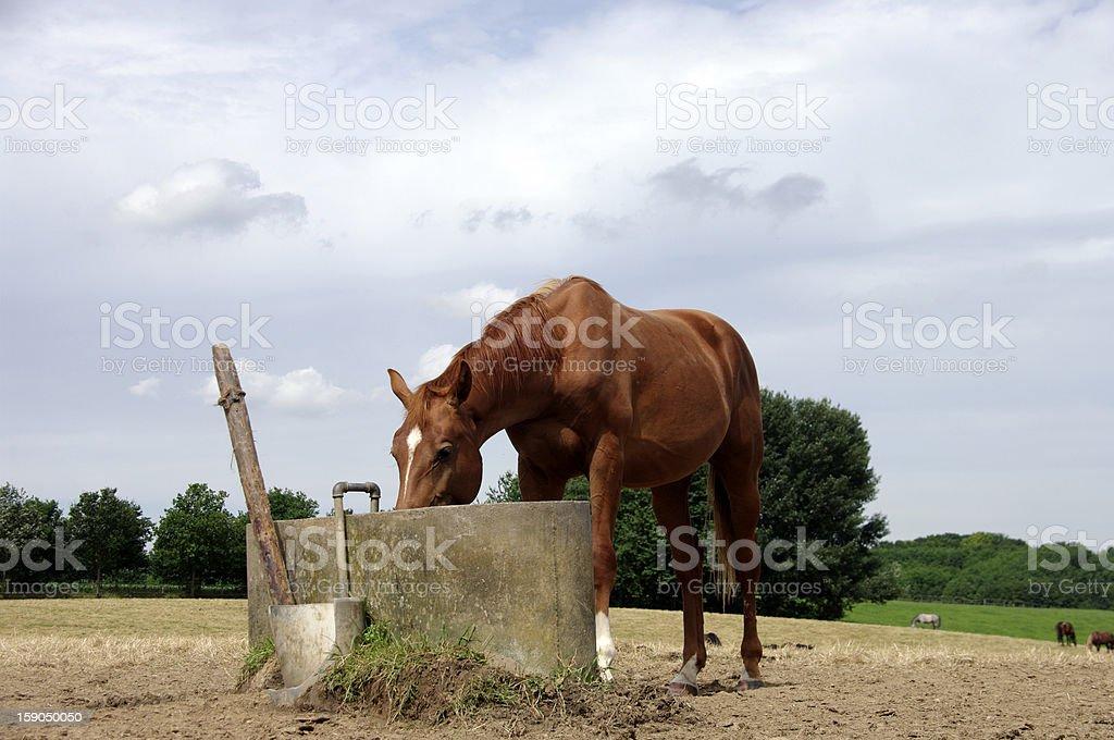 Drinking horse royalty-free stock photo