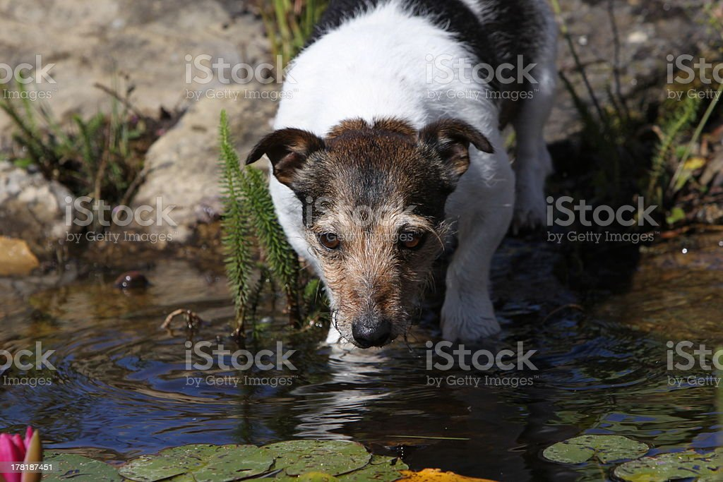 Drinking Jack Russel royalty-free stock photo