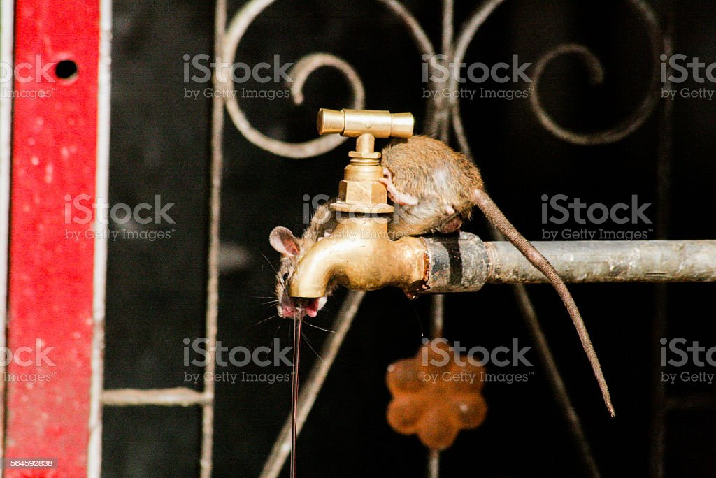 Drinking mouse stock photo