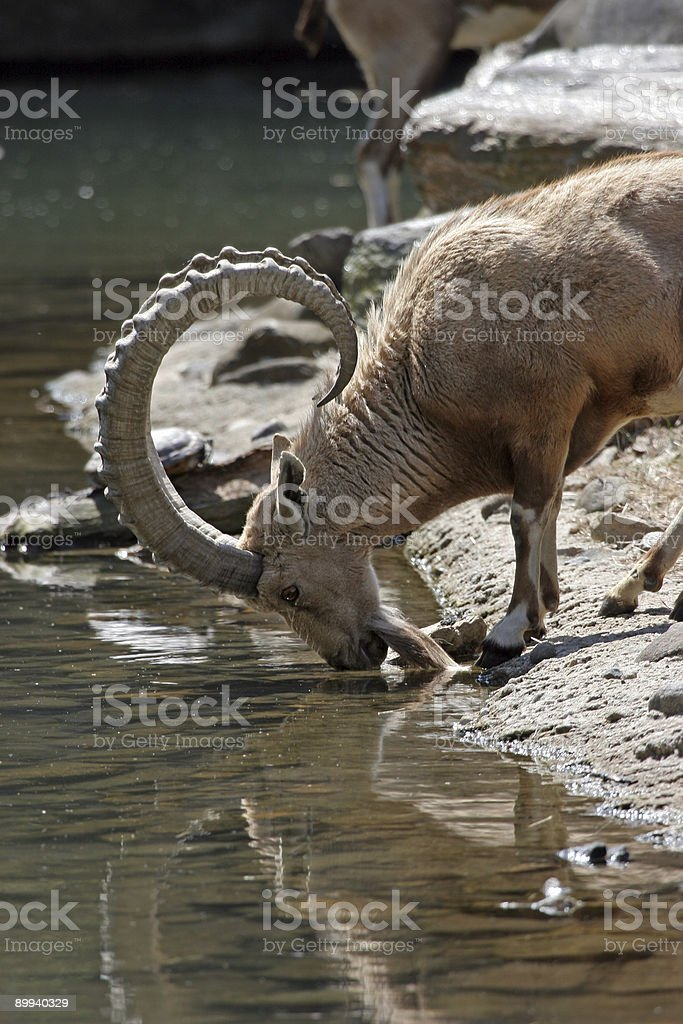 Drinking Nubian Ibex royalty-free stock photo