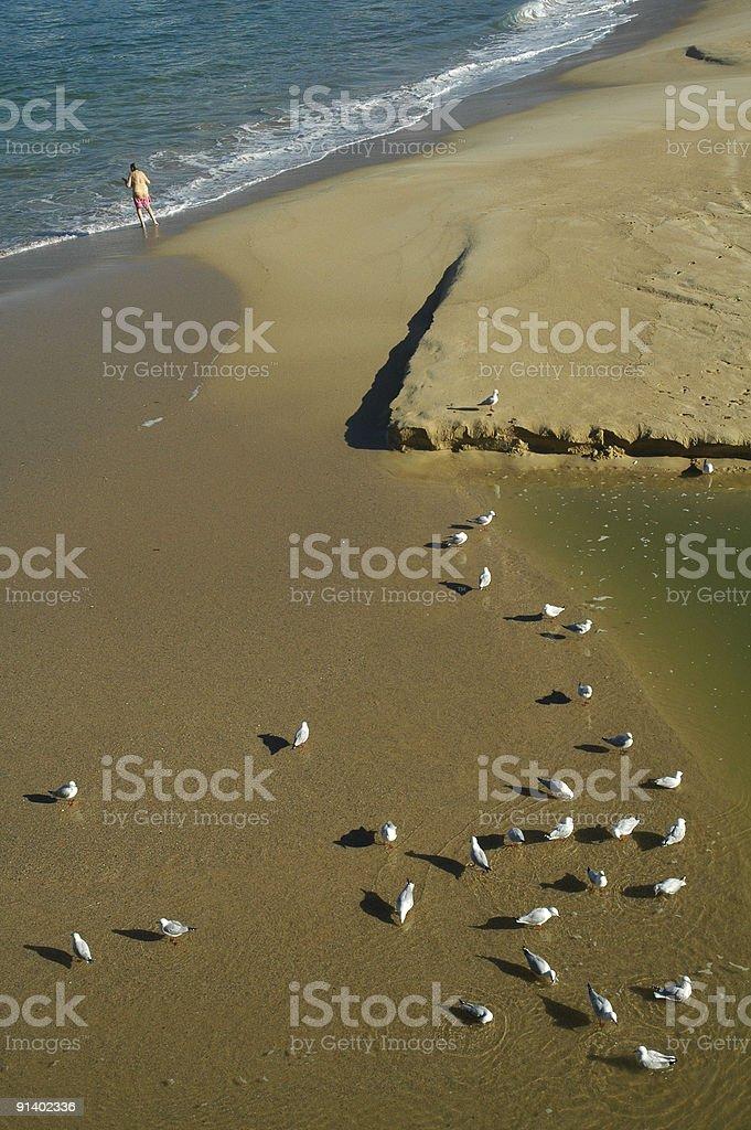 drinking seagulls royalty-free stock photo