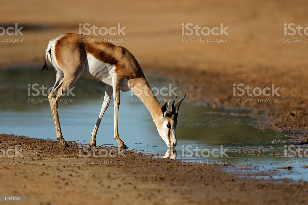 Drinking springbok antelope royalty-free stock photo
