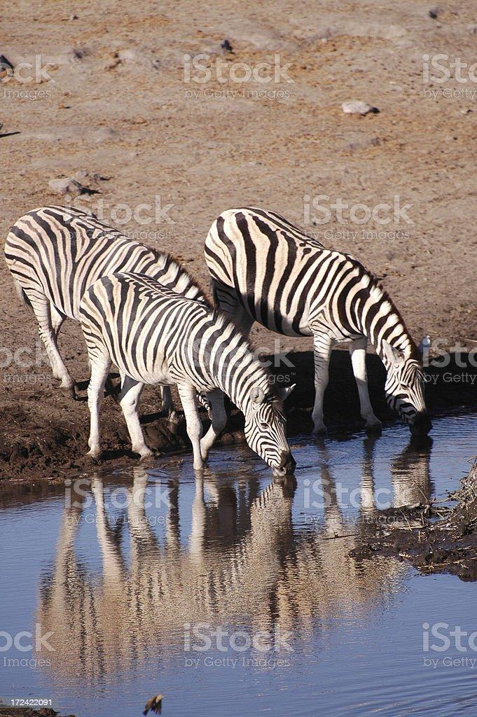 Drinking Zebras stock photo