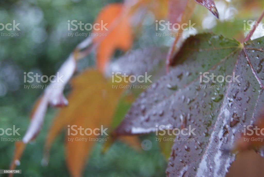 Dripping Maple royalty-free stock photo