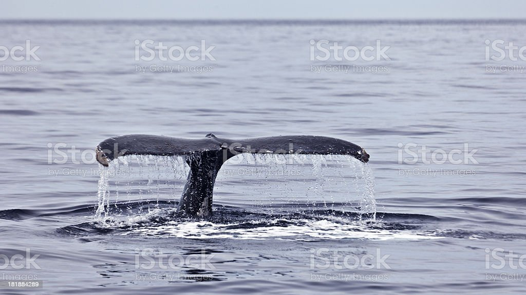 Dripping tail fluke, Humpback Whale, Sea of Cortez royalty-free stock photo