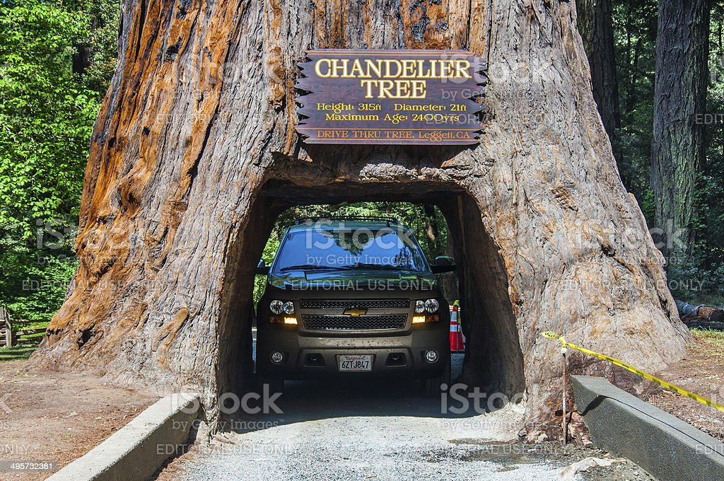 Drive through tree in California stock photo