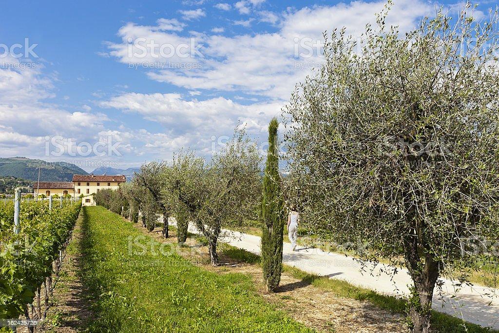 Driveway To The Farmhouse, Valpolicella royalty-free stock photo