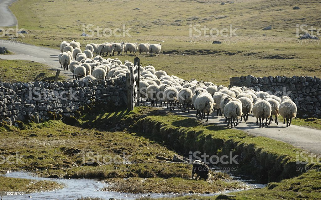Driving the Flock stock photo