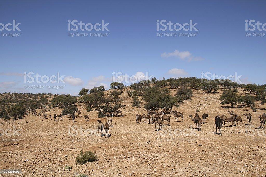 Dromedar Herde royalty-free stock photo