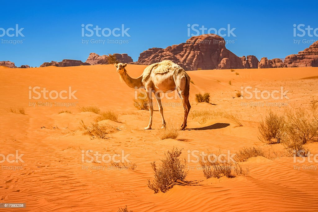 Dromedary Camel in the Wadi Rum Desert in Jordan stock photo