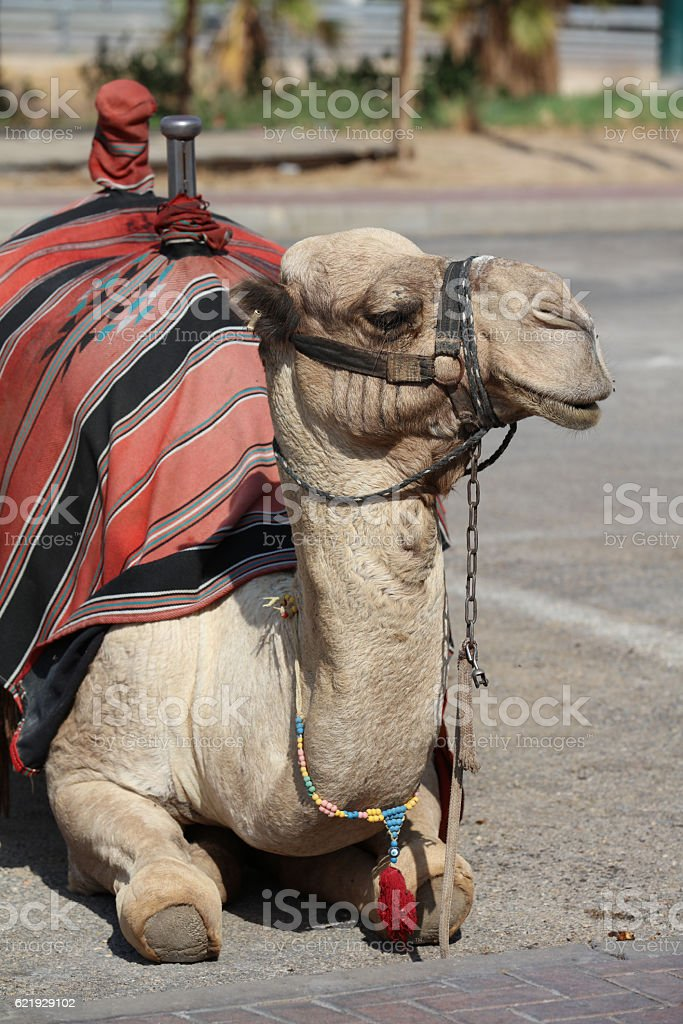 Dromedary Camel near Jericho. Israel stock photo