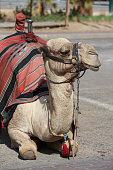 Dromedary Camel near Jericho. Israel