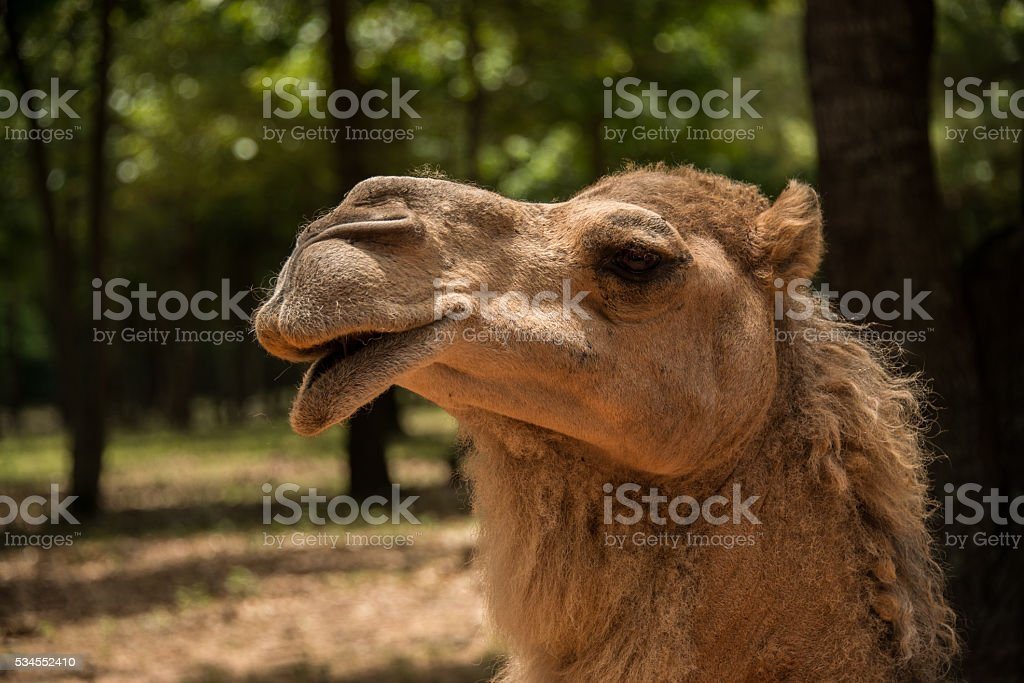 Dromedary camel of Africa closeup stock photo