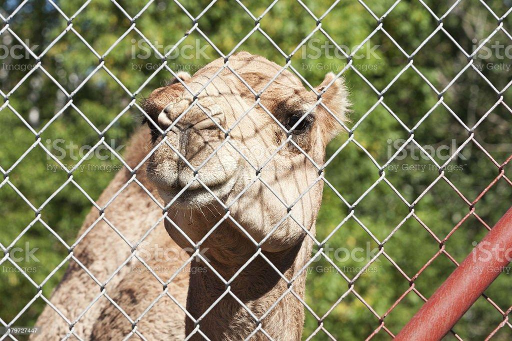 Dromedary Camel royalty-free stock photo