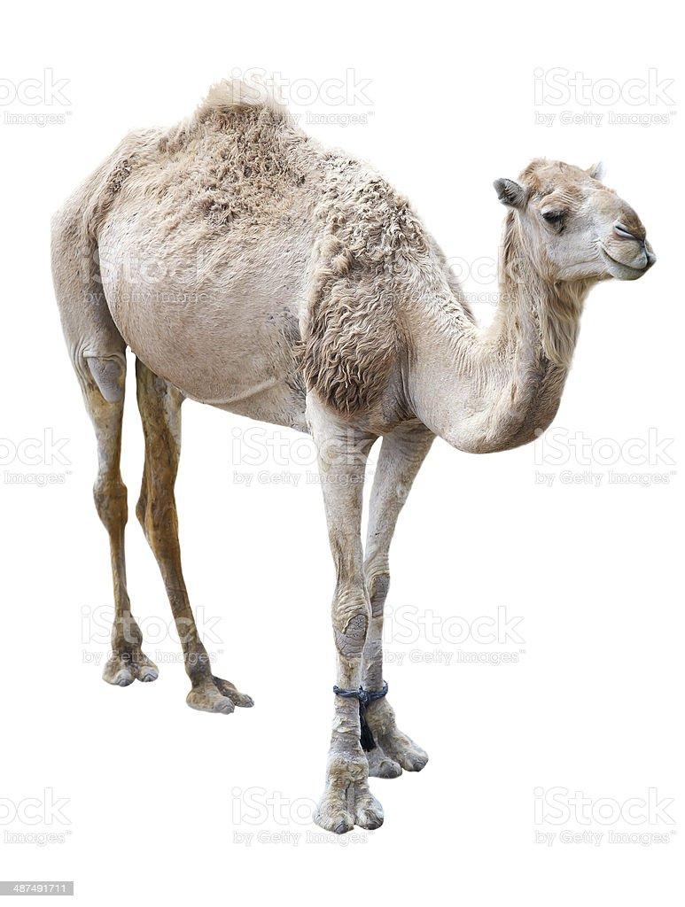 Dromedary camel stock photo
