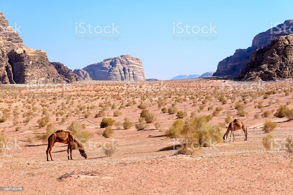 Dromedary camels graze in Wadi Rum desert, Jordan stock photo