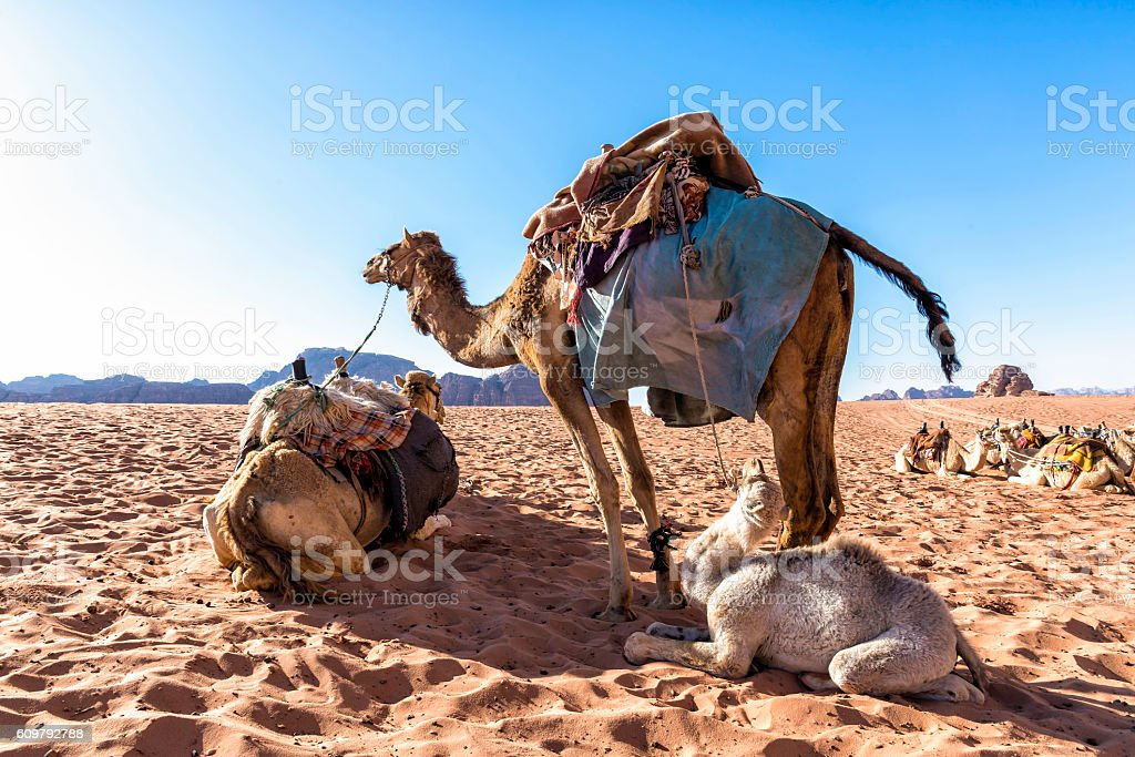 Dromedary camels in Wadi Rum desert, Jordan. stock photo