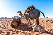 Dromedary camels in Wadi Rum desert, Jordan.