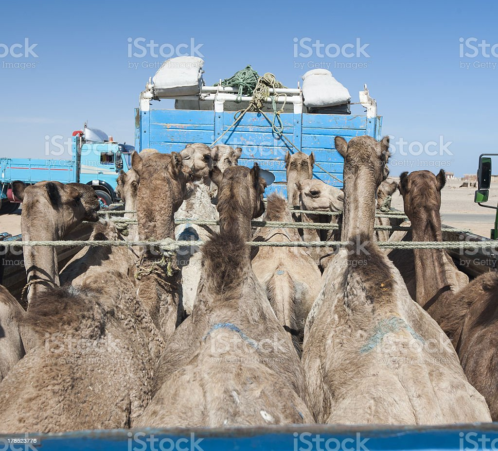 Dromedary camels loaded on a truck royalty-free stock photo