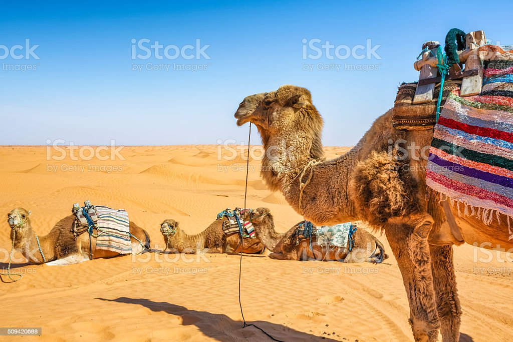 Dromedary in the Sahara desert of Ksar Ghilane erg , Tunisia stock photo