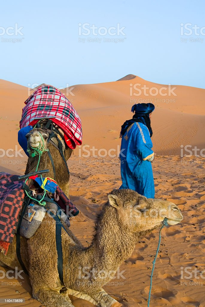 Dromedary royalty-free stock photo