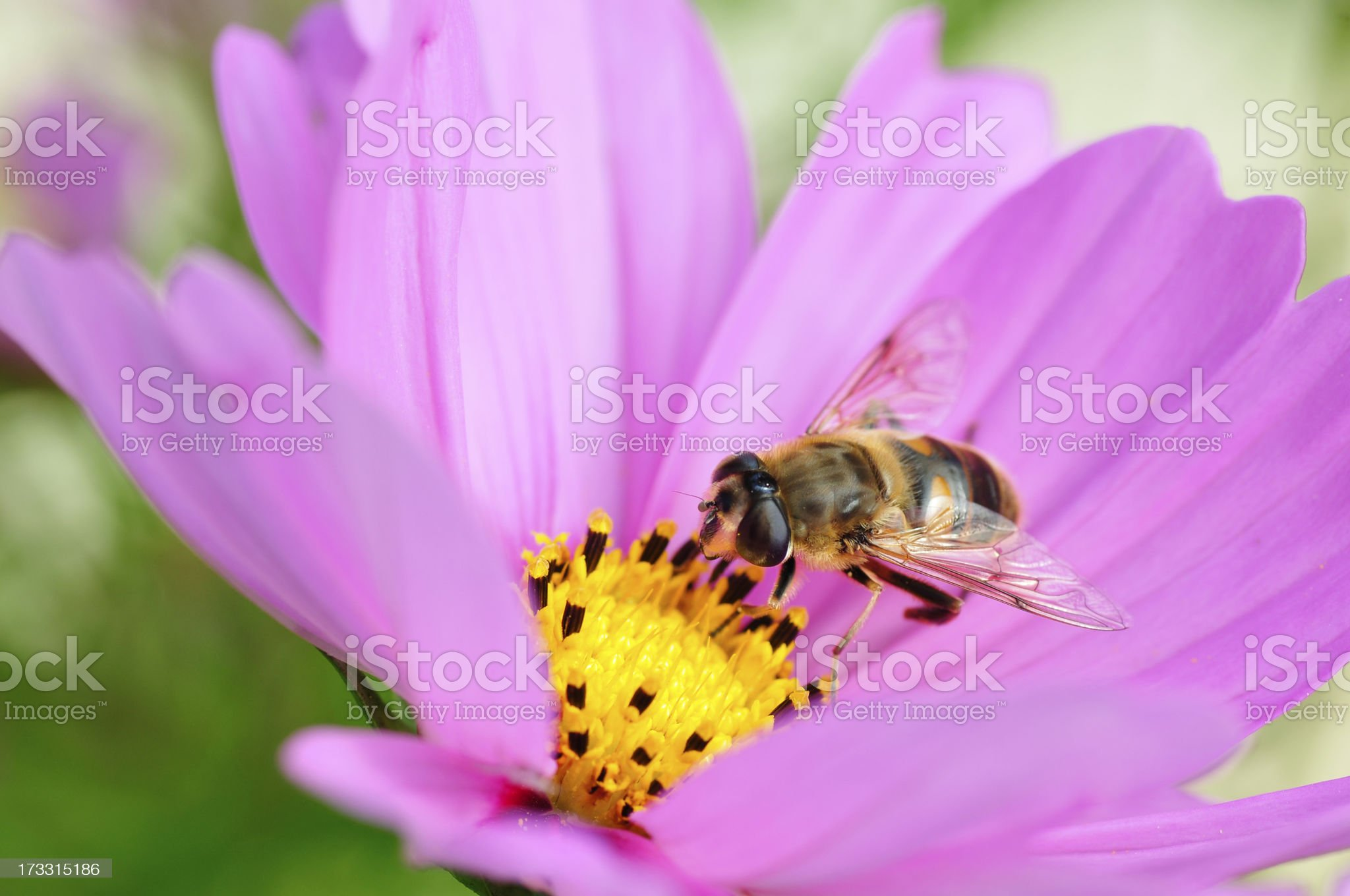 Drone fly feeding on pink cosmos flower royalty-free stock photo
