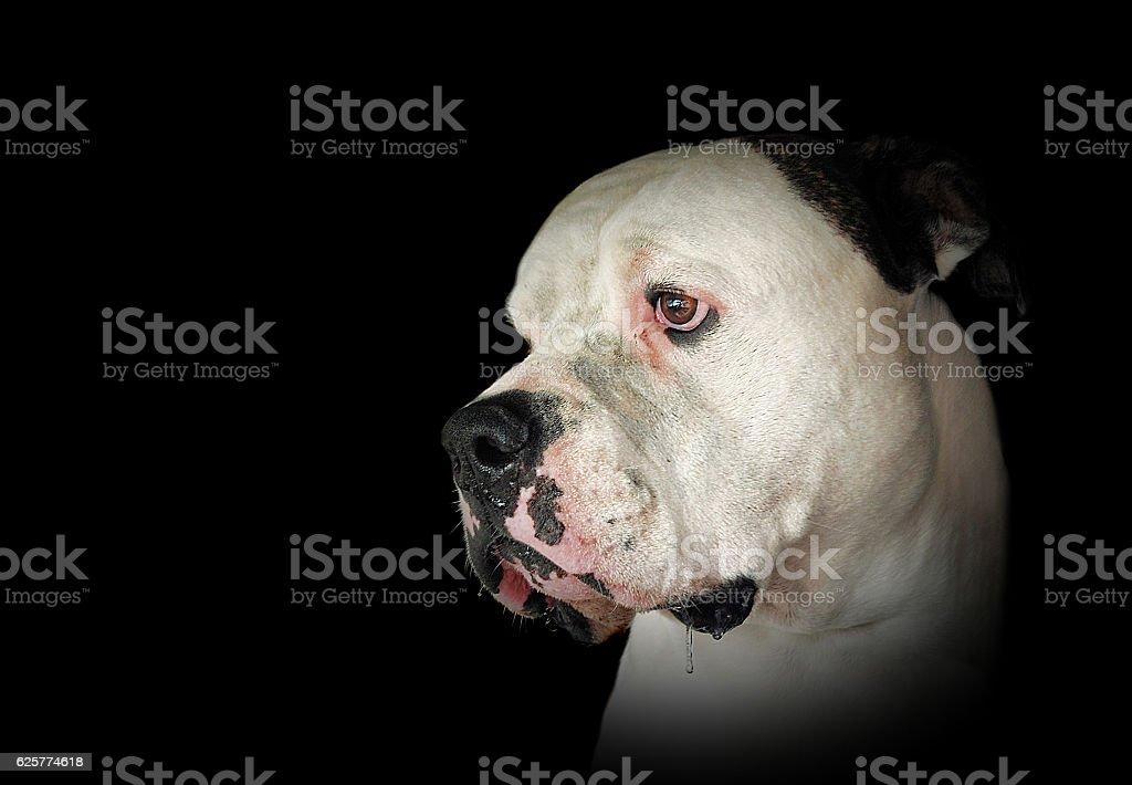 drooling American Bulldog portrait stock photo