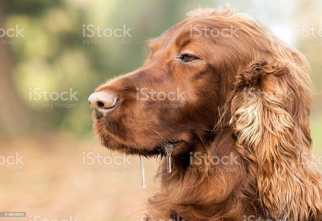 Drooling sleepy dog stock photo