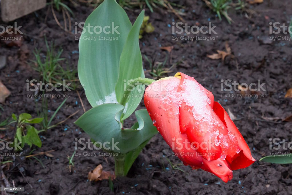 Drooping frozen red tulip against wet ground stock photo