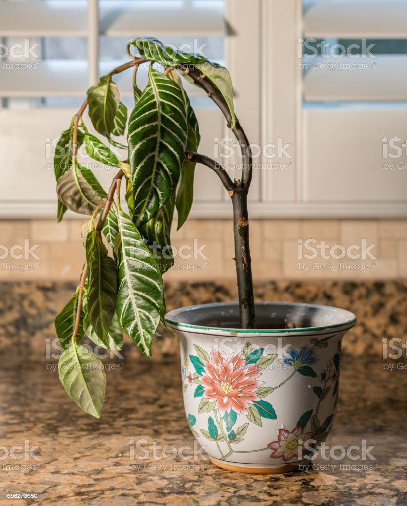 Drooping houseplant in pottery vase stock photo