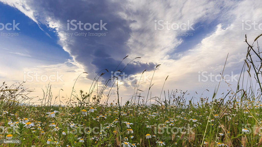 Drooping in the fields of daisies at sunset Siyazan.Azerbaijan stock photo