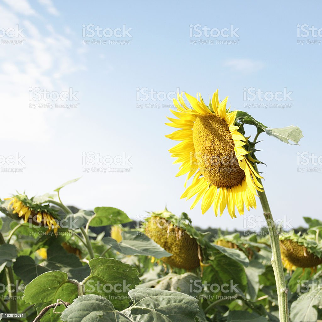 Droopy Sunflower in Summer Morning Sunlight stock photo