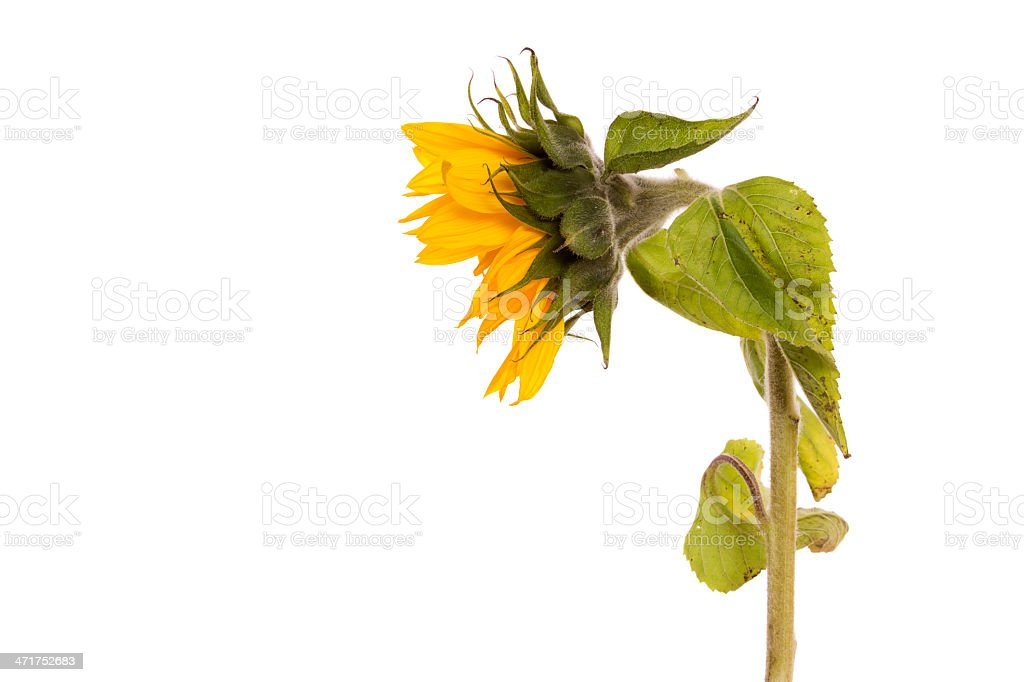 Droopy Sunflower stock photo