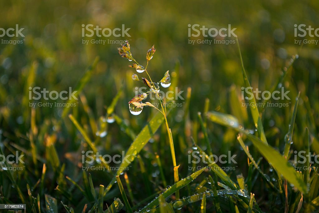 drop of dew on the grass stock photo