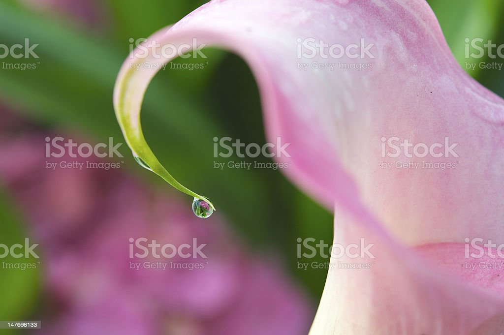 Drop of water on a flower royalty-free stock photo