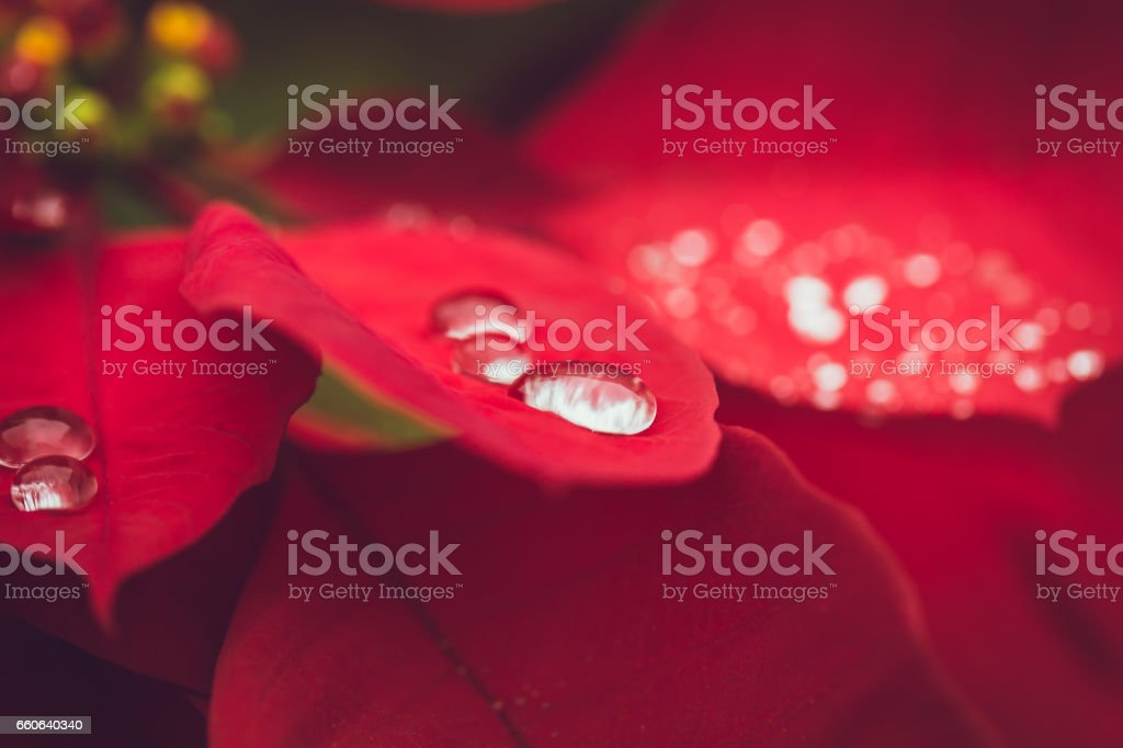Drop on the leaf, Water from raining season on red christmas plant stock photo