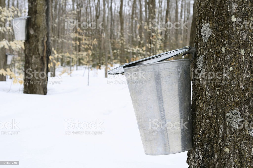 Droplet of maple sap falling into a pail stock photo