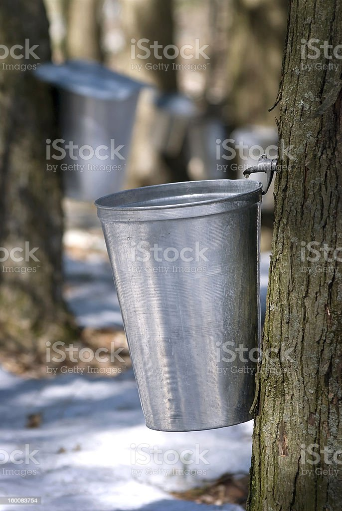 Droplet of sap flowing from the maple tree into pail stock photo
