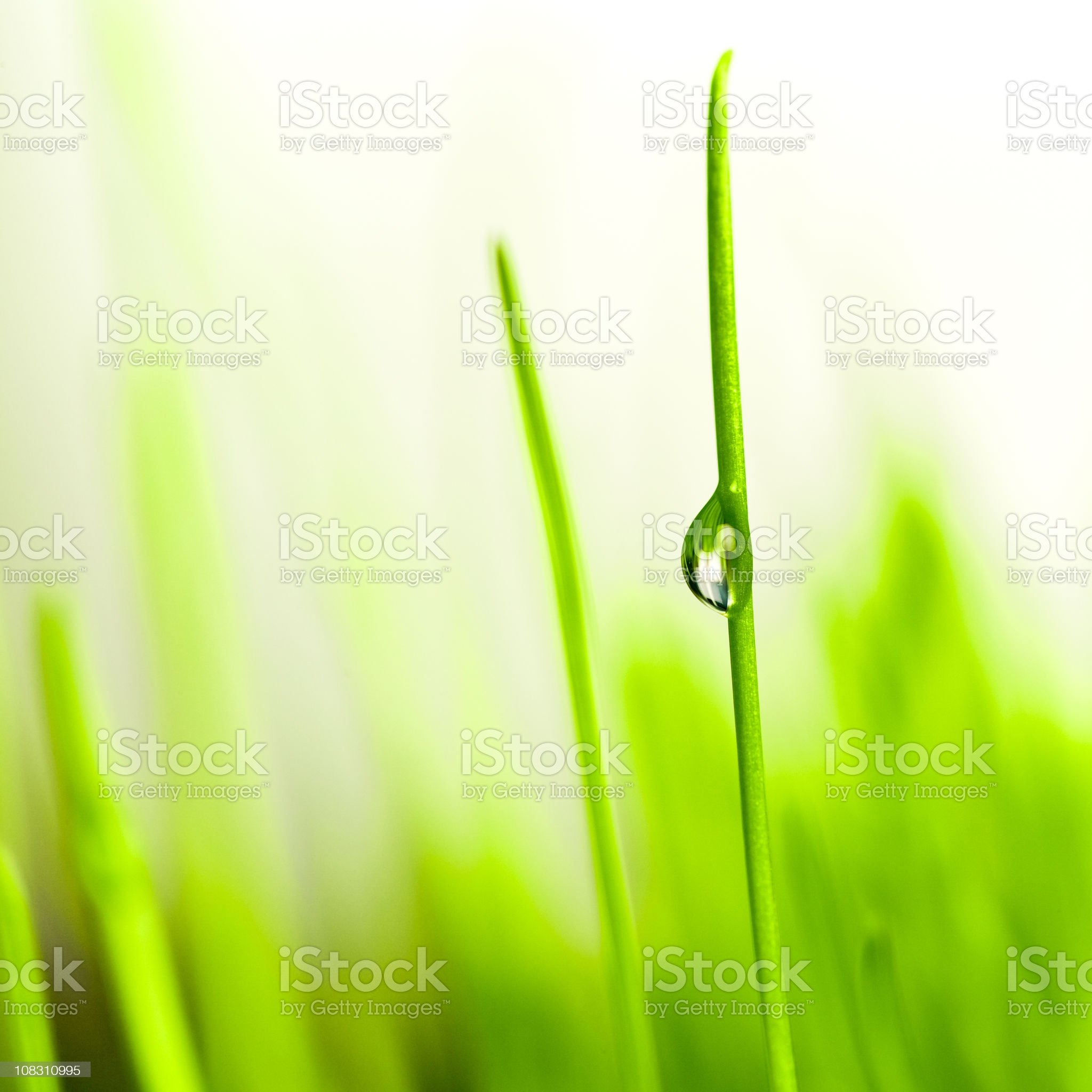 Droplet on blade of  wheat grass royalty-free stock photo