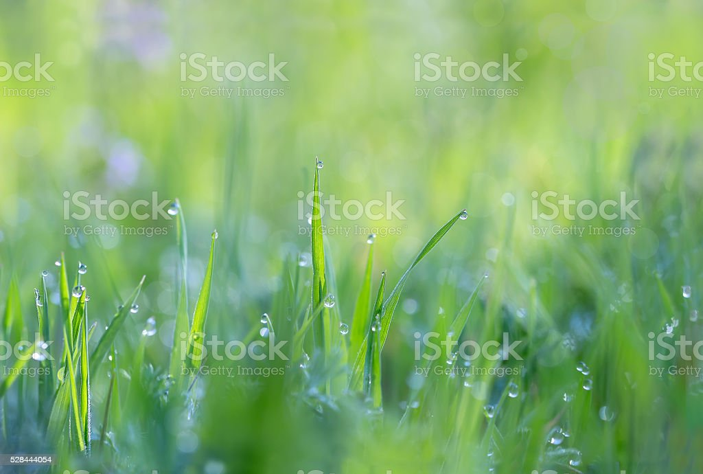 Droplets of dew on the grass in the morning sun stock photo