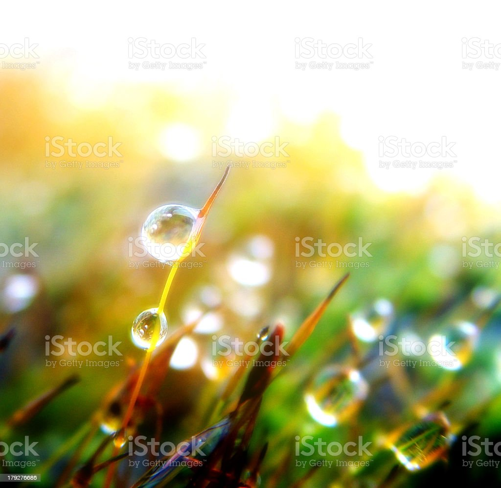 Droplets of water on plant at sunrise royalty-free stock photo