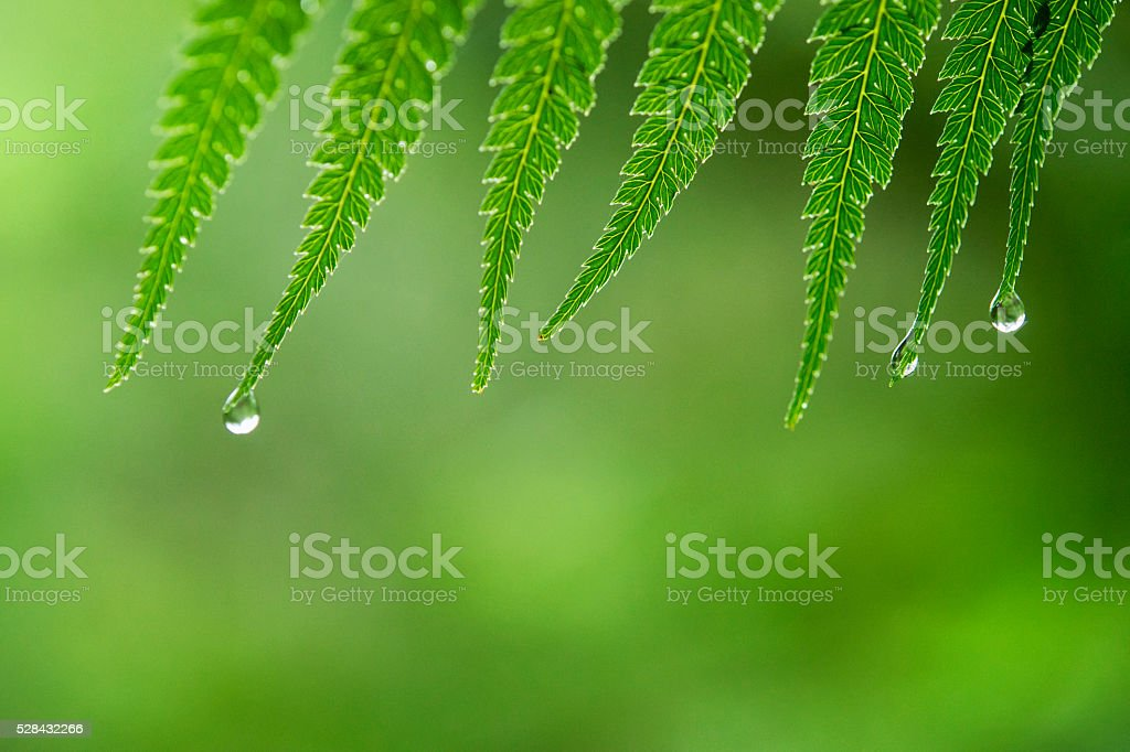 Droplets on a Fern stock photo