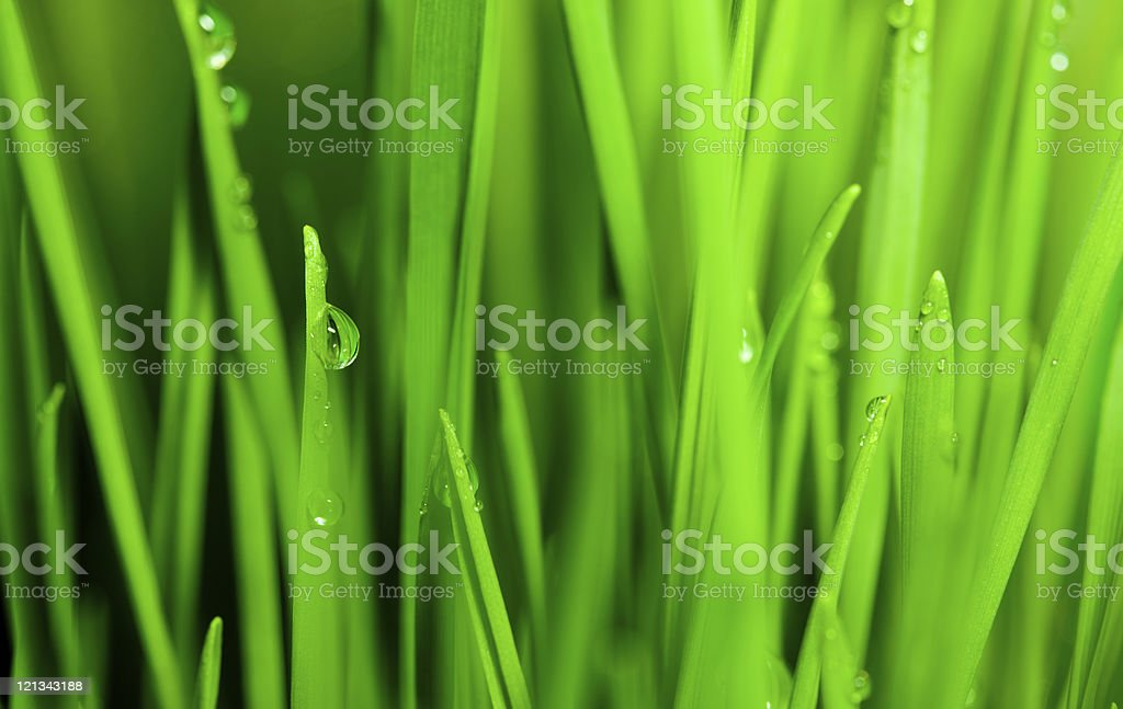 Droplets on blades of  wheat grass royalty-free stock photo