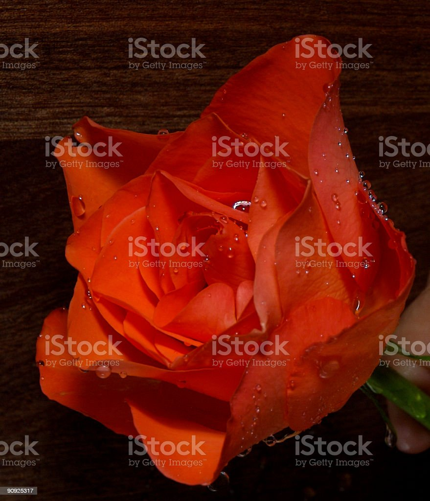 Droplets on rose royalty-free stock photo