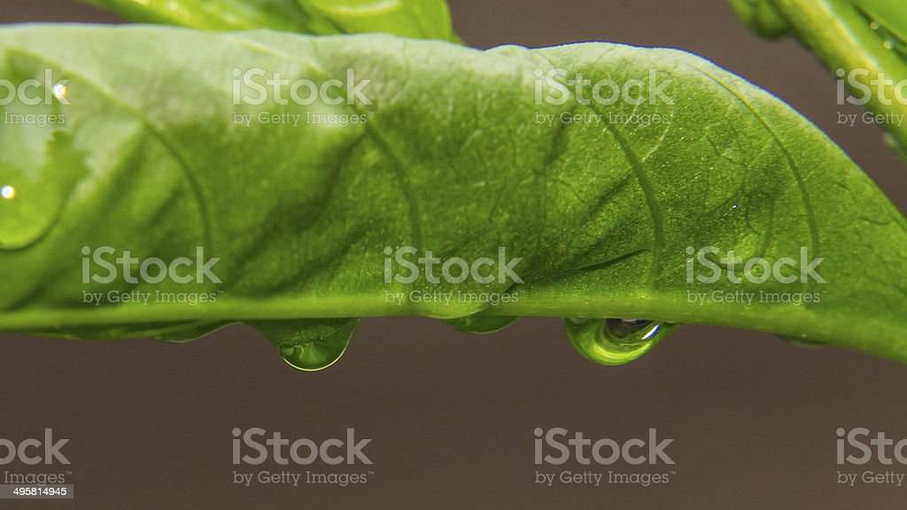 Drops Green Leaf, macro stock photo