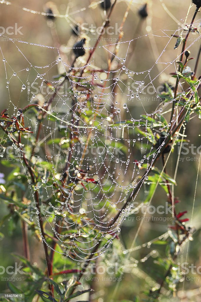 drops of dew on a spider web royalty-free stock photo