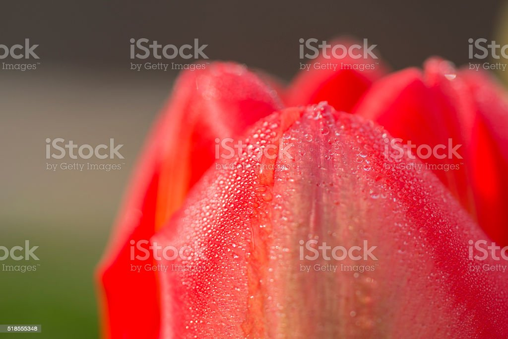 drops of dew on the rose stock photo