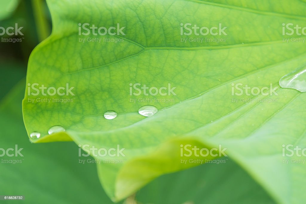 Drops of lotus leaf stock photo