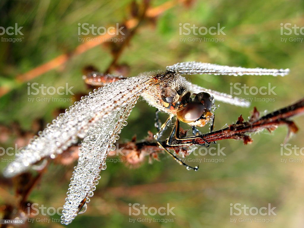 Drops of morning dew on a dragonfly closeup stock photo