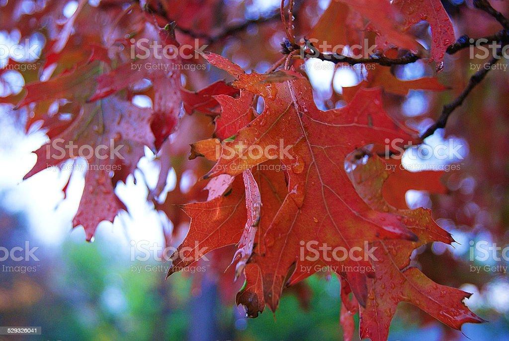Drops of Rain on Oak Leaves royalty-free stock photo
